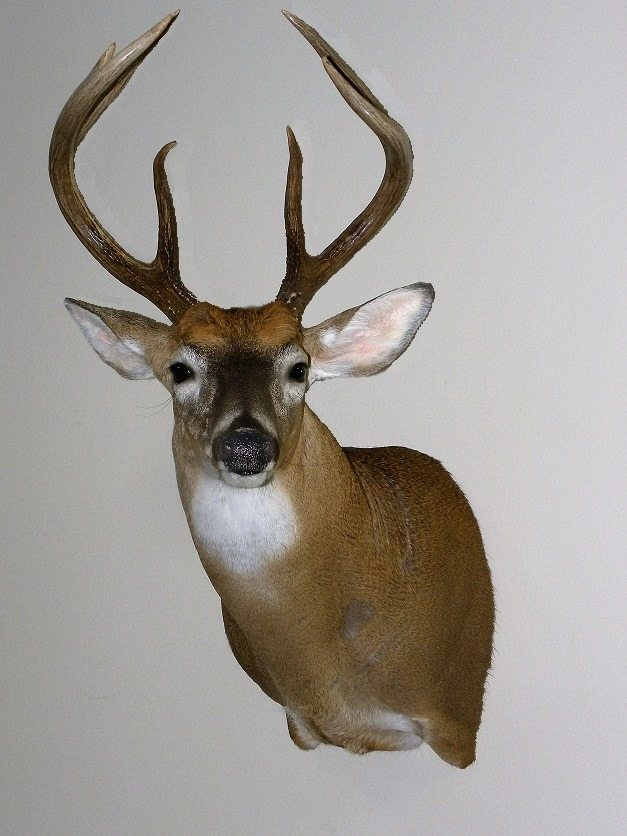 High Quality Whitetail Taxidermy